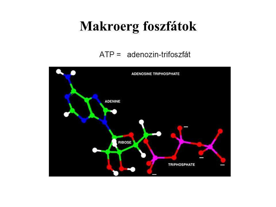 Makroerg foszfátok ATP = adenozin-trifoszfát