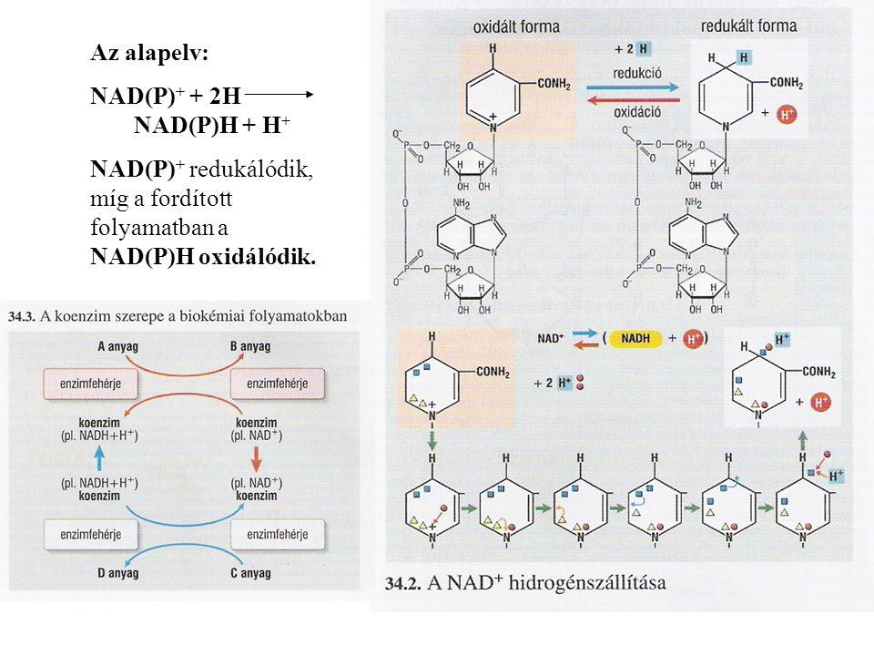. Az alapelv: NAD(P) + + 2H NAD(P)H + H + NAD(P) + redukálódik, míg a fordított folyamatban a NAD(P)H oxidálódik.