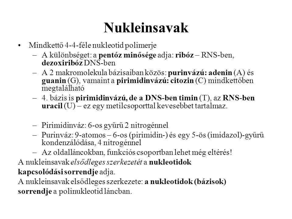 Nukleinsavak Mindkettő 4-4-féle nukleotid polimerje –A különbséget: a pentóz minősége adja: ribóz – RNS-ben, dezoxiribóz DNS-ben –A 2 makromolekula bázisaiban közös: purinvázú: adenin (A) és guanin (G), vamaint a pirimidinvázú: citozin (C) mindkettőben megtalálható –4.