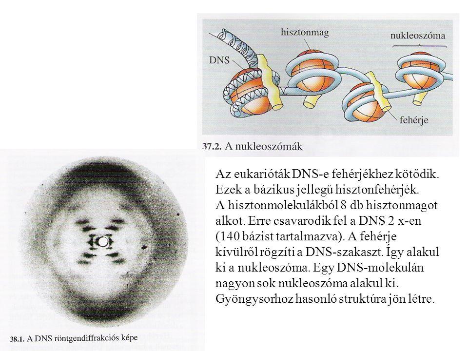 Az eukarióták DNS-e fehérjékhez kötődik.Ezek a bázikus jellegű hisztonfehérjék.