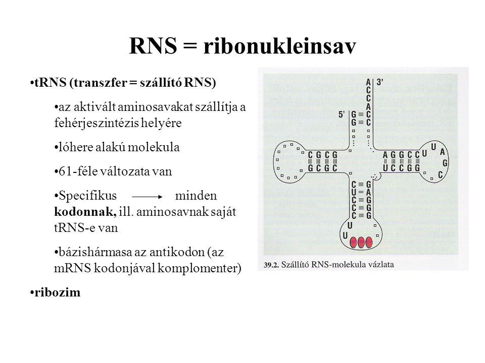RNS = ribonukleinsav tRNS (transzfer = szállító RNS) az aktivált aminosavakat szállítja a fehérjeszintézis helyére lóhere alakú molekula 61-féle változata van Specifikus minden kodonnak, ill.