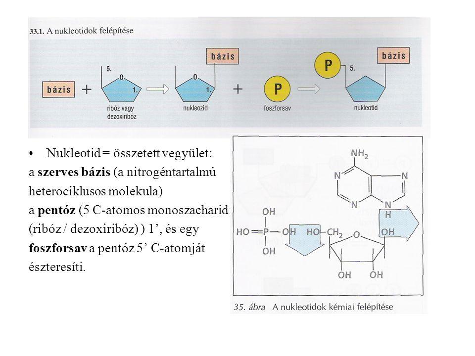 Nukleotid = összetett vegyület: a szerves bázis (a nitrogéntartalmú heterociklusos molekula) a pentóz (5 C-atomos monoszacharid: (ribóz / dezoxiribóz) ) 1', és egy foszforsav a pentóz 5' C-atomját észteresíti.