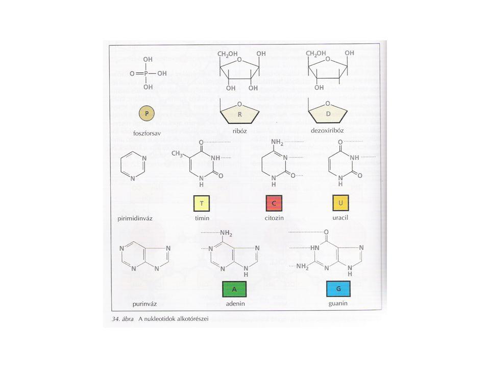 RNS = ribonukleinsavak Térszerkezetüket: az elsődleges szerkezet: a bázissorrend határozza meg.
