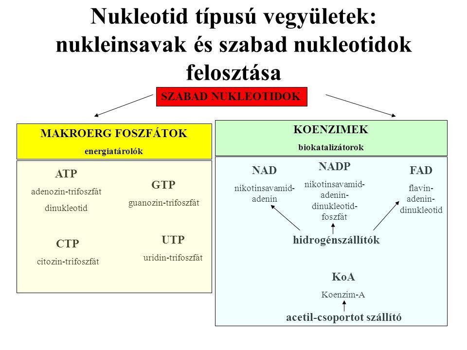 Nukleotid típusú vegyületek: nukleinsavak és szabad nukleotidok felosztása SZABAD NUKLEOTIDOK MAKROERG FOSZFÁTOK energiatárolók KOENZIMEK biokatalizátorok ATP adenozin-trifoszfát dinukleotid GTP guanozin-trifoszfát CTP citozin-trifoszfát UTP uridin-trifoszfát NAD nikotinsavamid- adenin NADP nikotinsavamid- adenin- dinukleotid- foszfát FAD flavin- adenin- dinukleotid hidrogénszállítók KoA Koenzim-A acetil-csoportot szállító