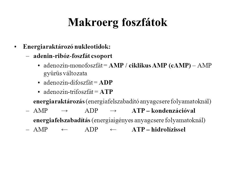 Makroerg foszfátok Energiaraktározó nukleotidok: –adenin-ribóz-foszfát csoport adenozin-monofoszfát = AMP / ciklikus AMP (cAMP) – AMP gyűrűs változata adenozin-difoszfát = ADP adenozin-trifoszfát = ATP energiaraktározás (energiafelszabadító anyagcsere folyamatoknál) –AMP →ADP →ATP – kondenzációval energiafelszabadítás (energiaigényes anyagcsere folyamatoknál) –AMP←ADP ←ATP – hidrolízissel
