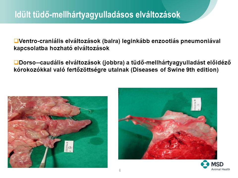 6 Idült tüdő-mellhártyagyulladásos elváltozások  Ventro-craniális elváltozások (balra) leginkább enzootiás pneumoniával kapcsolatba hozható elváltozá