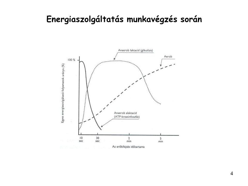 3 A mitokondriális légzés (aerob energia szolgáltatás) A mitokondriális légzésben olyan folyamatok vesznek részt, amelyek lehetővé teszik, hogy az oxigénigényes folyamatokra a lehető legérzékenyebb válasz jöjjön létre, tehát minél több ATP termelődjön.
