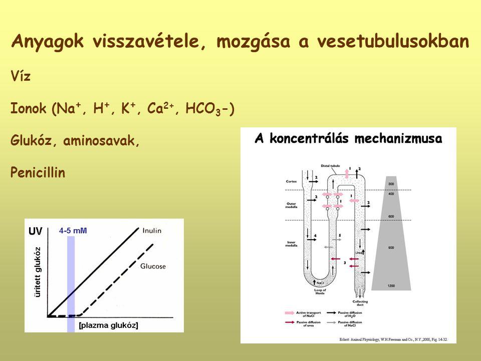 Anyagok visszavétele, mozgása a vesetubulusokban Víz Ionok (Na +, H +, K +, Ca 2+, HCO 3 -) Glukóz, aminosavak, Penicillin