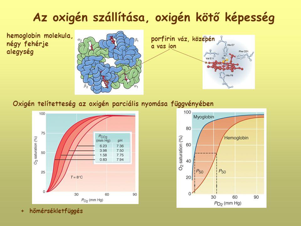 Az oxigén szállítása, oxigén kötő képesség + hőmérsékletfüggés hemoglobin molekula, négy fehérje alegység porfirin váz, közepén a vas ion Oxigén telít