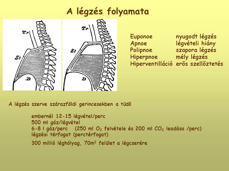 A légzés folyamata Euponoenyugodt légzés Apnoelégvételi hiány Polipnoeszapora légzés Hiperpnoemély légzés Hiperventillációerős szellőztetés A légzés s