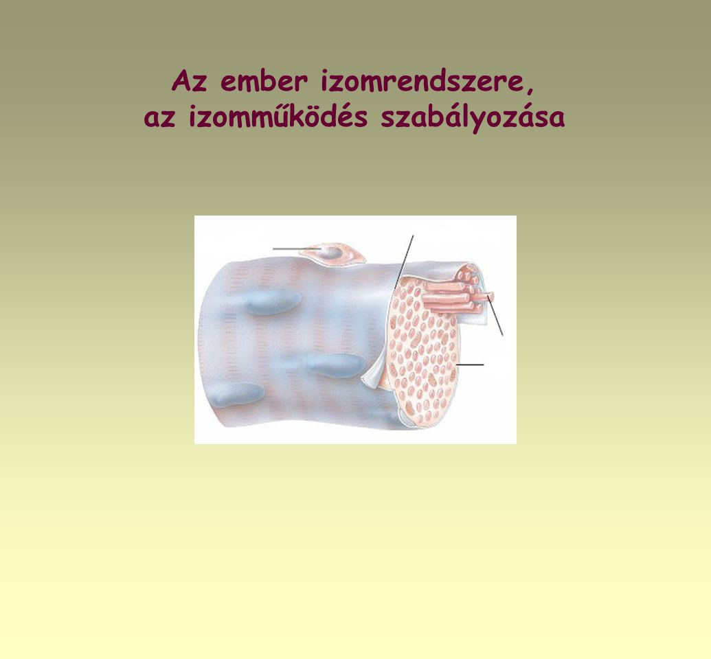 Az ember izomrendszere, az izomműködés szabályozása
