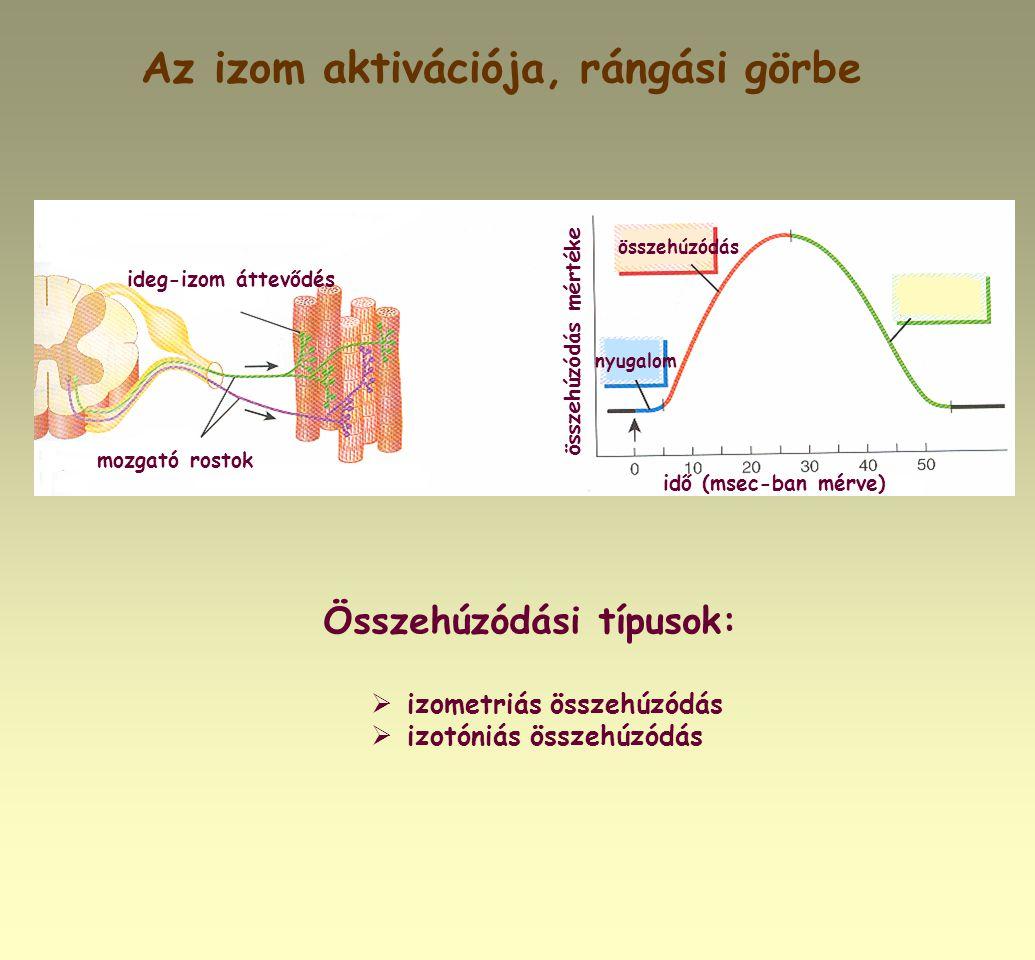 Az izom aktivációja, rángási görbe Összehúzódási típusok:  izometriás összehúzódás  izotóniás összehúzódás elernyedés ideg-izom áttevődés mozgató ro