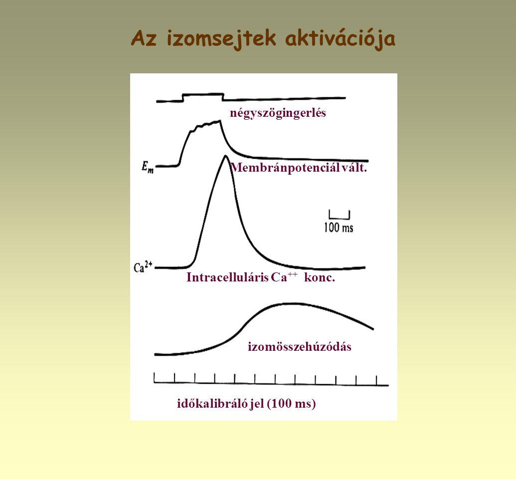 Az izomsejtek aktivációja négyszögingerlés időkalibráló jel (100 ms) izomösszehúzódás Intracelluláris Ca ++ konc. Membránpotenciál vált.