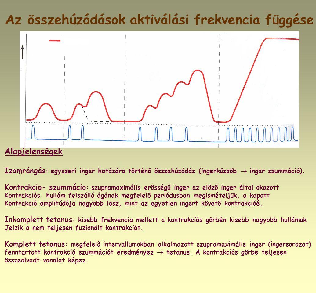 Az összehúzódások aktiválási frekvencia függése Alapjelenségek Izomrángás : egyszeri inger hatására történő összehúzódás (ingerküszöb  inger szummáci
