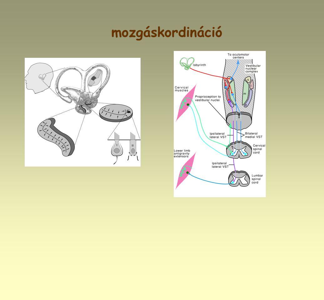 mozgáskordináció