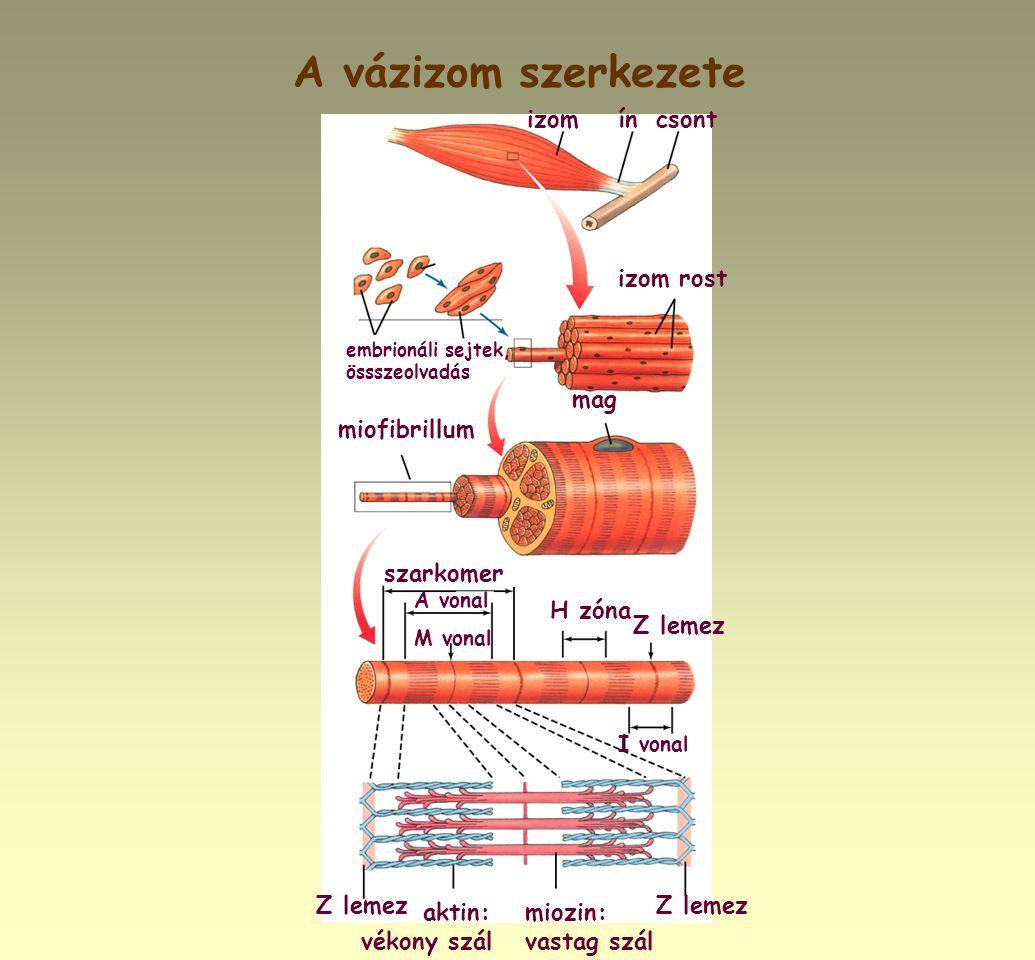 A vázizom szerkezete embrionáli sejtek, össszeolvadás izom rost mag miofibrillum szarkomer H zóna Z lemez aktin: vékony szál miozin: vastag szál I von