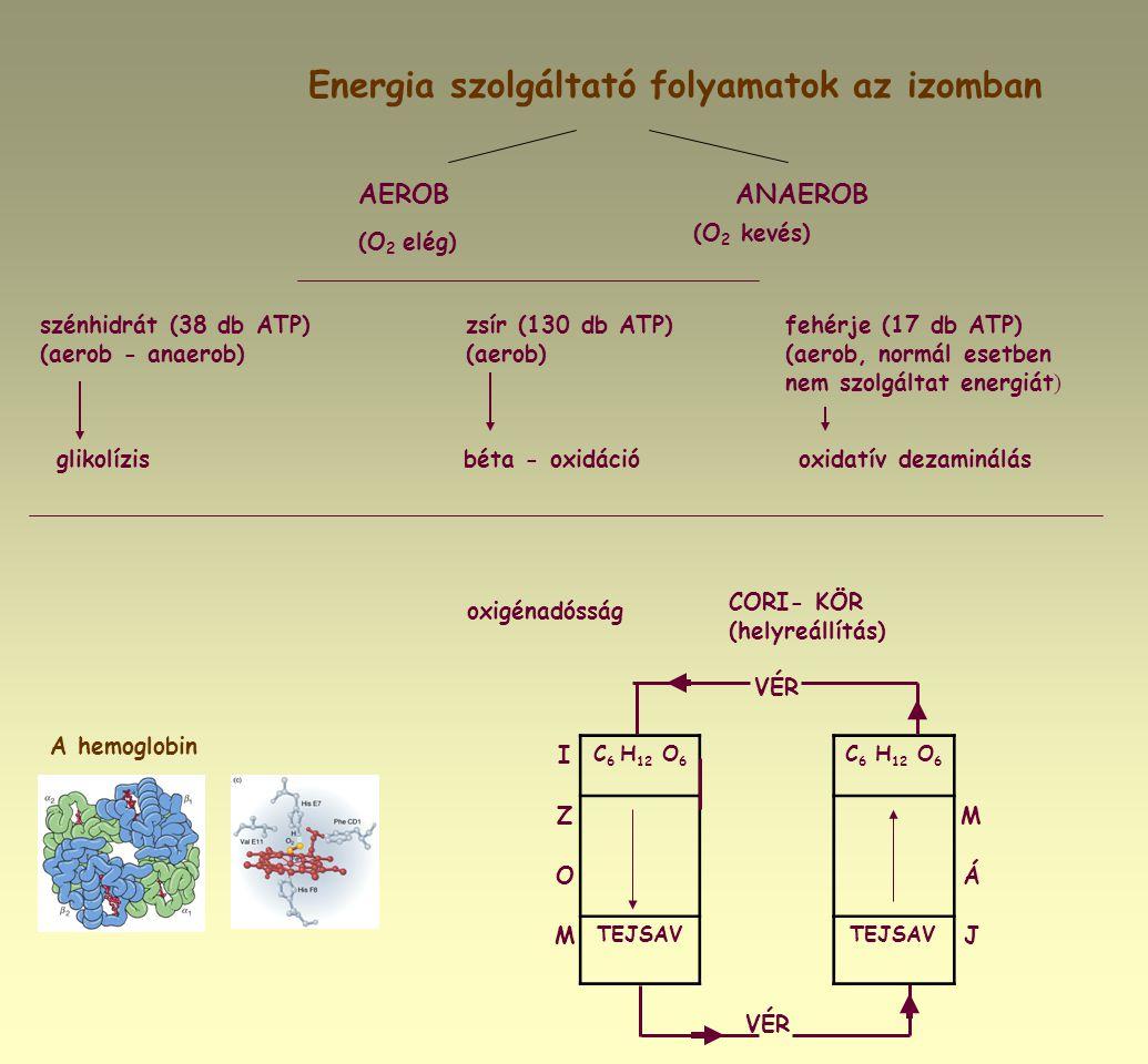 A hemoglobin Energia szolgáltató folyamatok az izomban AEROBANAEROB (O 2 elég) (O 2 kevés) szénhidrát (38 db ATP)zsír (130 db ATP)fehérje (17 db ATP)