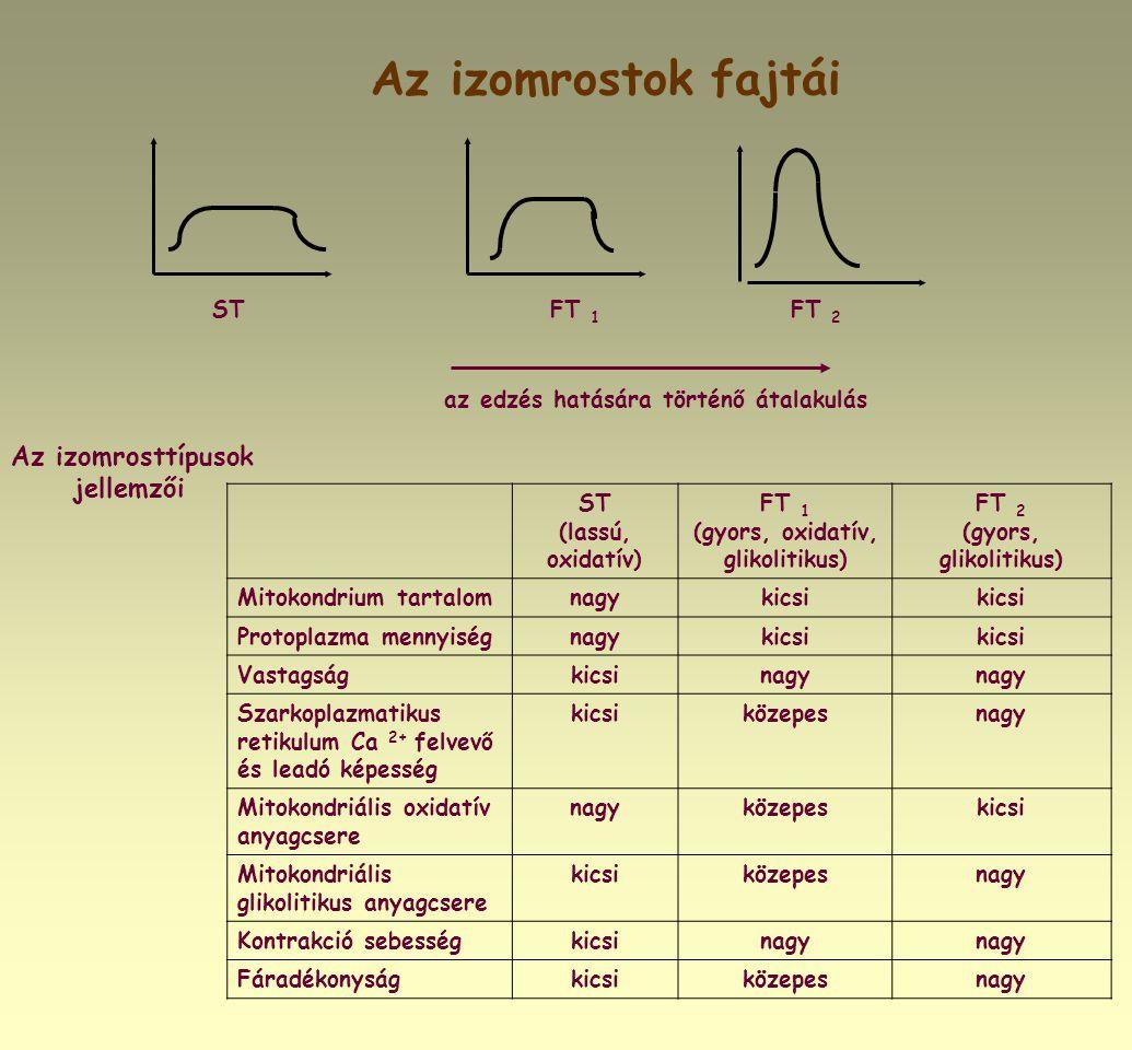 Az izomrostok fajtái STFT 1 FT 2 Az izomrosttípusok jellemzői ST (lassú, oxidatív) FT 1 (gyors, oxidatív, glikolitikus) FT 2 (gyors, glikolitikus) Mit