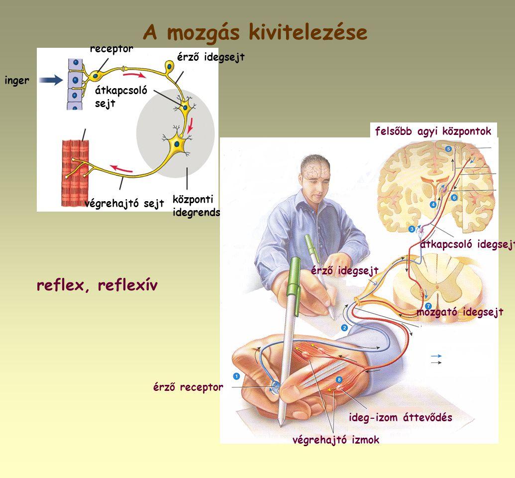 A mozgás kivitelezése reflex, reflexív inger receptor végrehajtó sejt átkapcsoló sejt központi idegrendszer érző idegsejt érző receptor végrehajtó izm