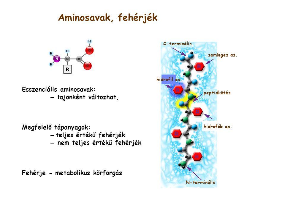 Aminosavak, fehérjék N-terminális C-terminális hidrofób as.