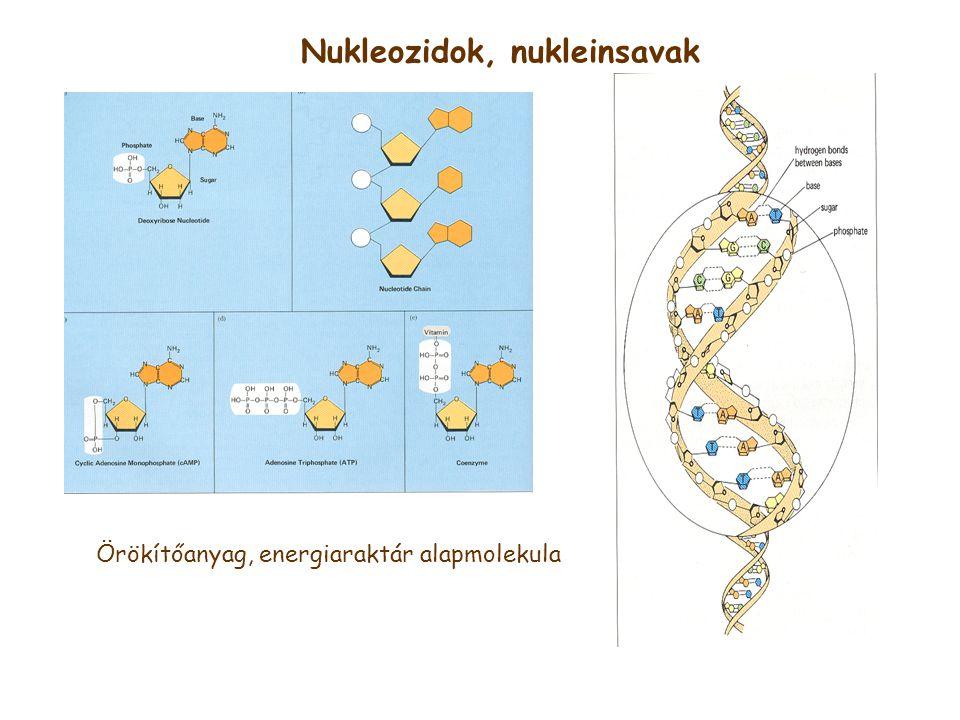 Nukleozidok, nukleinsavak Örökítőanyag, energiaraktár alapmolekula