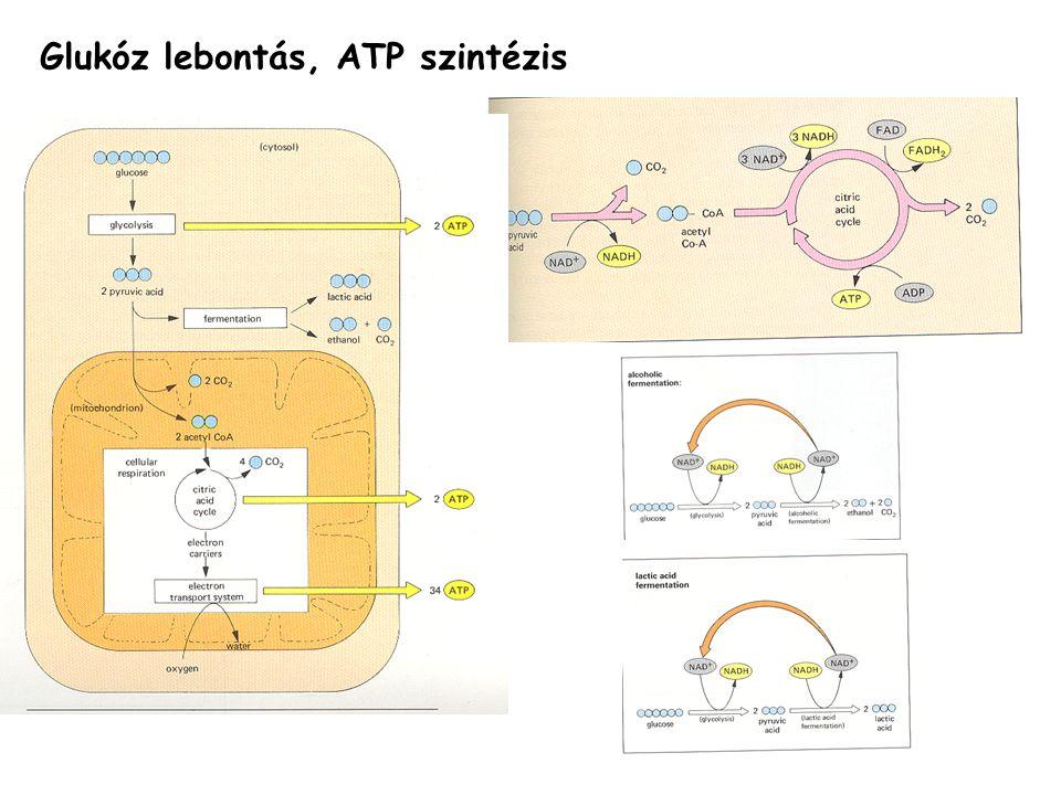 Glukóz lebontás, ATP szintézis