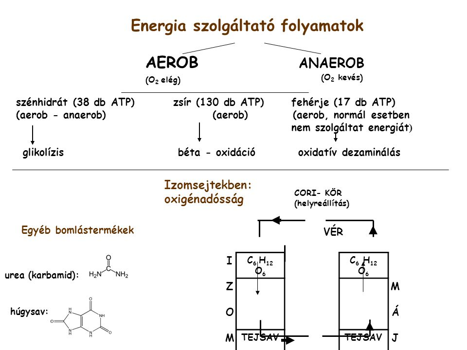 Energia szolgáltató folyamatok AEROB ANAEROB (O 2 elég) (O 2 kevés) szénhidrát (38 db ATP)zsír (130 db ATP)fehérje (17 db ATP) (aerob - anaerob) (aerob) (aerob, normál esetben nem szolgáltat energiát ) glikolízis béta - oxidáció oxidatív dezaminálás VÉR I C 6 H 12 O 6 ZM OÁ M TEJSAV J VÉR CORI- KÖR (helyreállítás) Izomsejtekben: oxigénadósság urea (karbamid): húgysav: Egyéb bomlástermékek