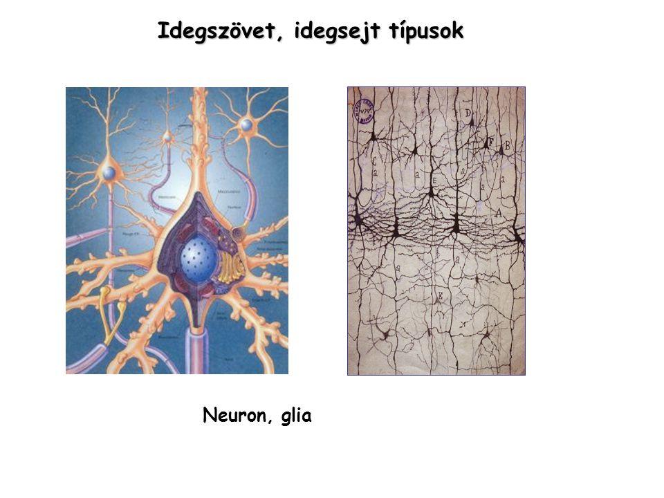 Idegszövet, idegsejt típusok Neuron, glia