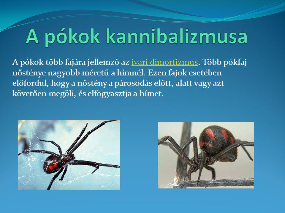 A pókok több fajára jellemző az ivari dimorfizmus. Több pókfaj nősténye nagyobb méretű a hímnél. Ezen fajok esetében előfordul, hogy a nőstény a páros