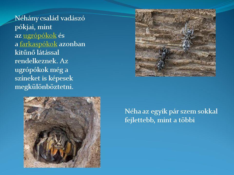 Néhány család vadászó pókjai, mint az ugrópókok és a farkaspókok azonban kitűnő látással rendelkeznek.