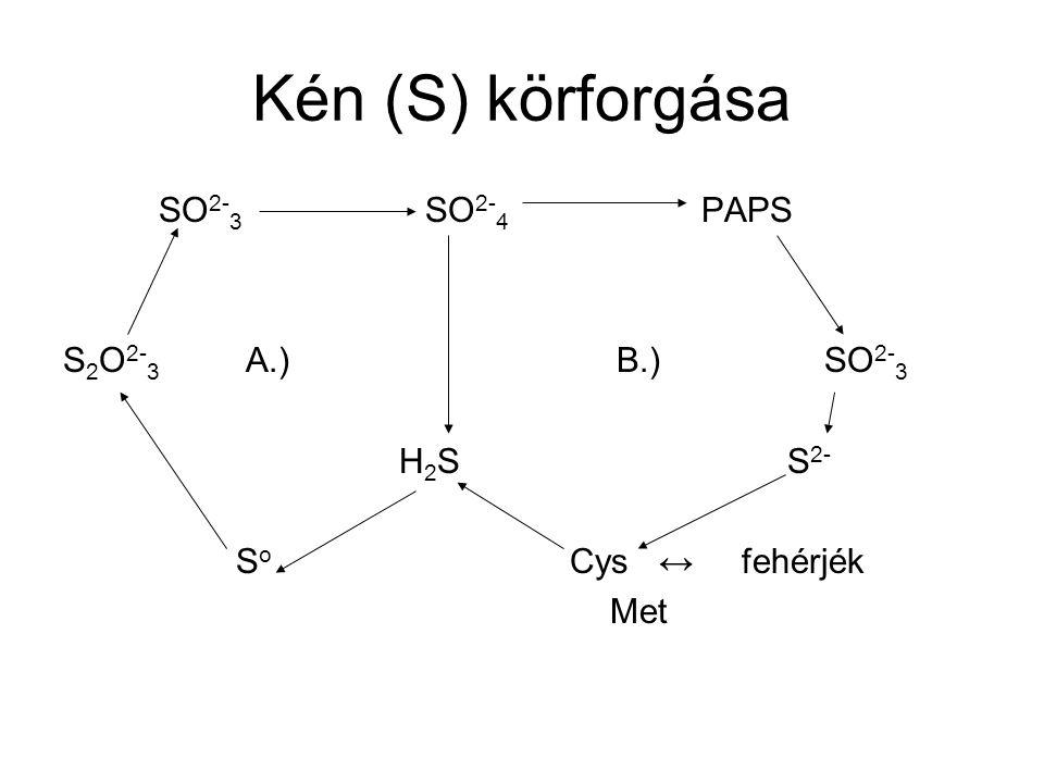 Kén (S) körforgása SO 2- 3 SO 2- 4 PAPS S 2 O 2- 3 A.) B.) SO 2- 3 H 2 S S 2- S o Cys ↔ fehérjék Met