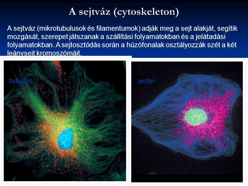A sejtváz (cytoskeleton) tubulin actin A sejtváz (mikrotubulusok és filamentumok) adják meg a sejt alakját, segítik mozgását, szerepet játszanak a szá