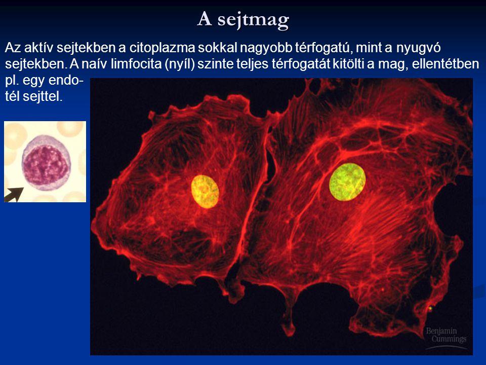 A sejtmag Az aktív sejtekben a citoplazma sokkal nagyobb térfogatú, mint a nyugvó sejtekben. A naív limfocita (nyíl) szinte teljes térfogatát kitölti