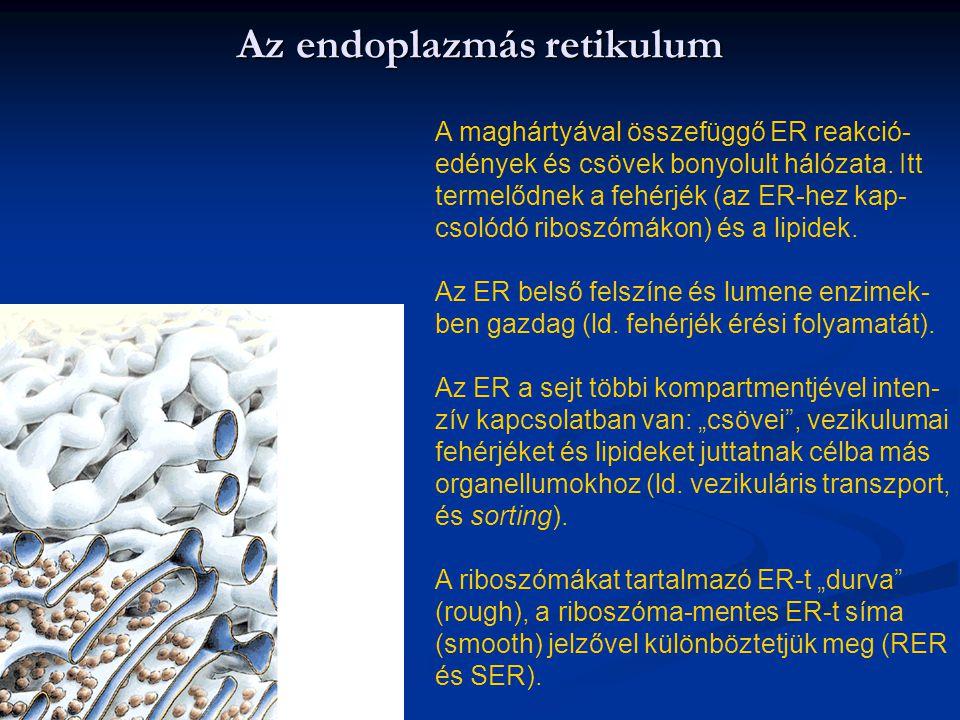 Az endoplazmás retikulum A maghártyával összefüggő ER reakció- edények és csövek bonyolult hálózata. Itt termelődnek a fehérjék (az ER-hez kap- csolód