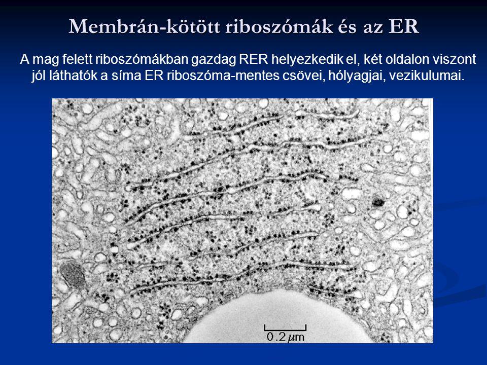 Membrán-kötött riboszómák és az ER A mag felett riboszómákban gazdag RER helyezkedik el, két oldalon viszont jól láthatók a síma ER riboszóma-mentes c
