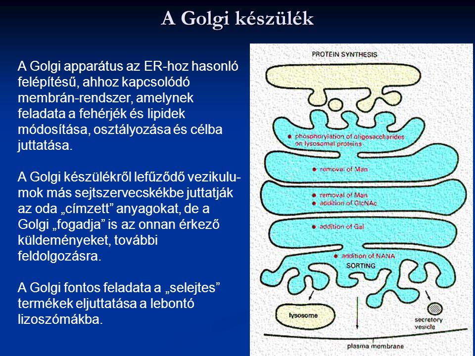A Golgi készülék A Golgi apparátus az ER-hoz hasonló felépítésű, ahhoz kapcsolódó membrán-rendszer, amelynek feladata a fehérjék és lipidek módosítása
