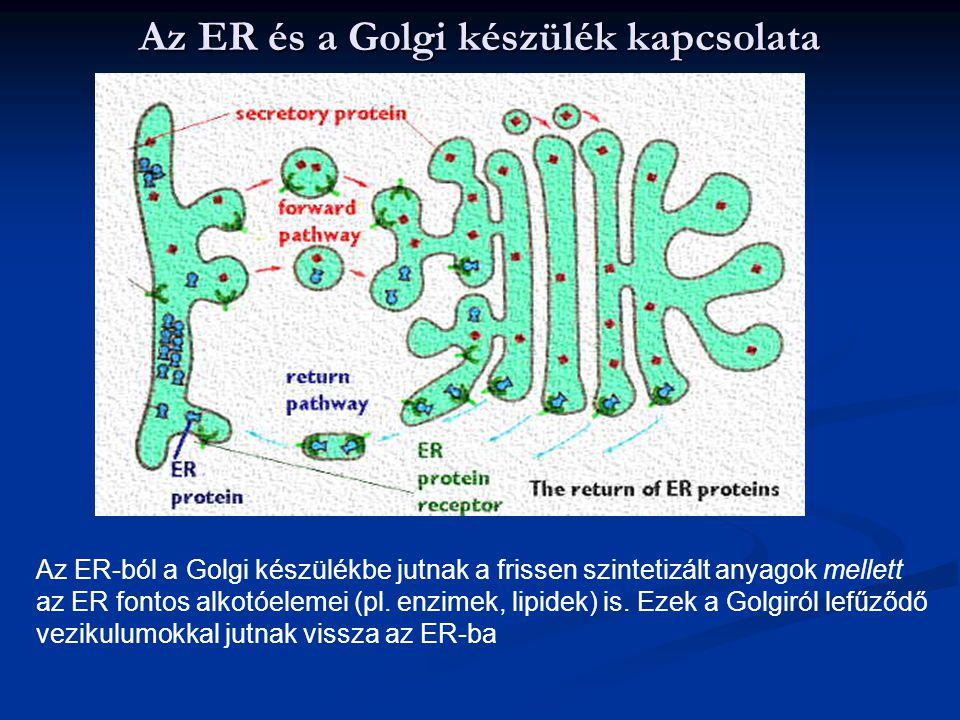 Az ER és a Golgi készülék kapcsolata Az ER-ból a Golgi készülékbe jutnak a frissen szintetizált anyagok mellett az ER fontos alkotóelemei (pl. enzimek