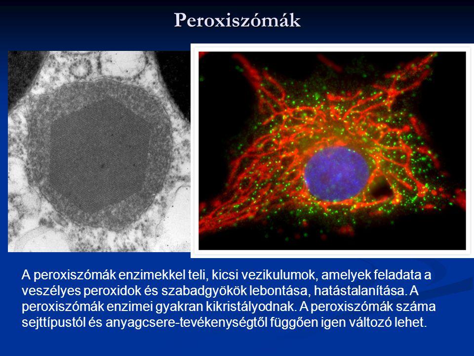Peroxiszómák A peroxiszómák enzimekkel teli, kicsi vezikulumok, amelyek feladata a veszélyes peroxidok és szabadgyökök lebontása, hatástalanítása. A p