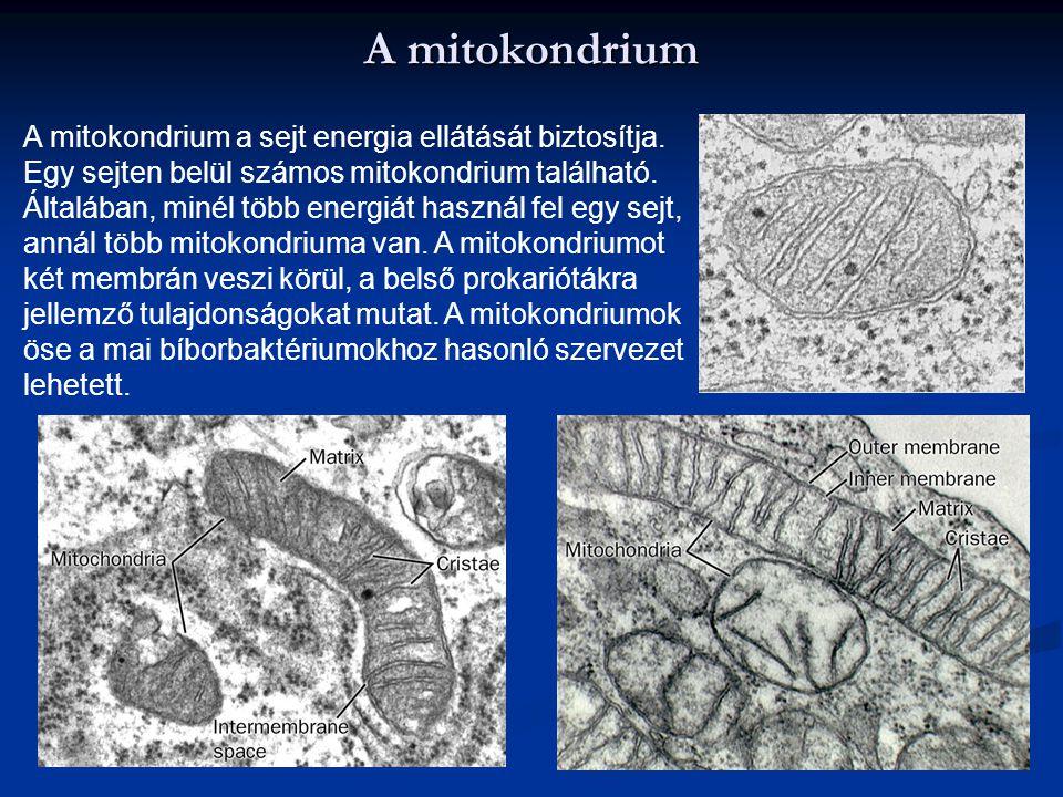 A mitokondrium A mitokondrium a sejt energia ellátását biztosítja. Egy sejten belül számos mitokondrium található. Általában, minél több energiát hasz