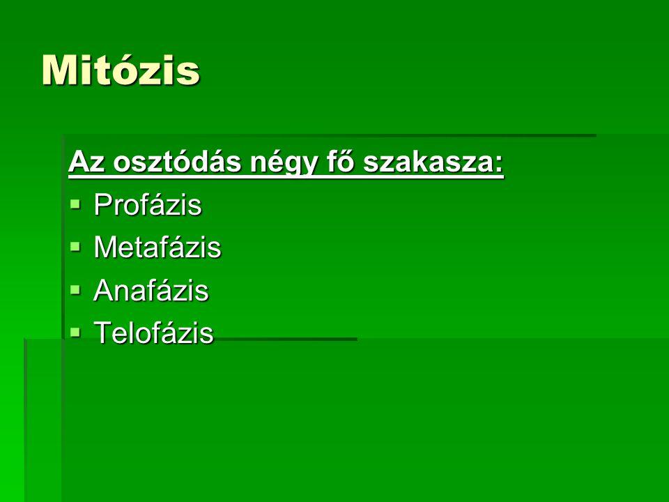 Mitózis Az osztódás négy fő szakasza:  Profázis  Metafázis  Anafázis  Telofázis