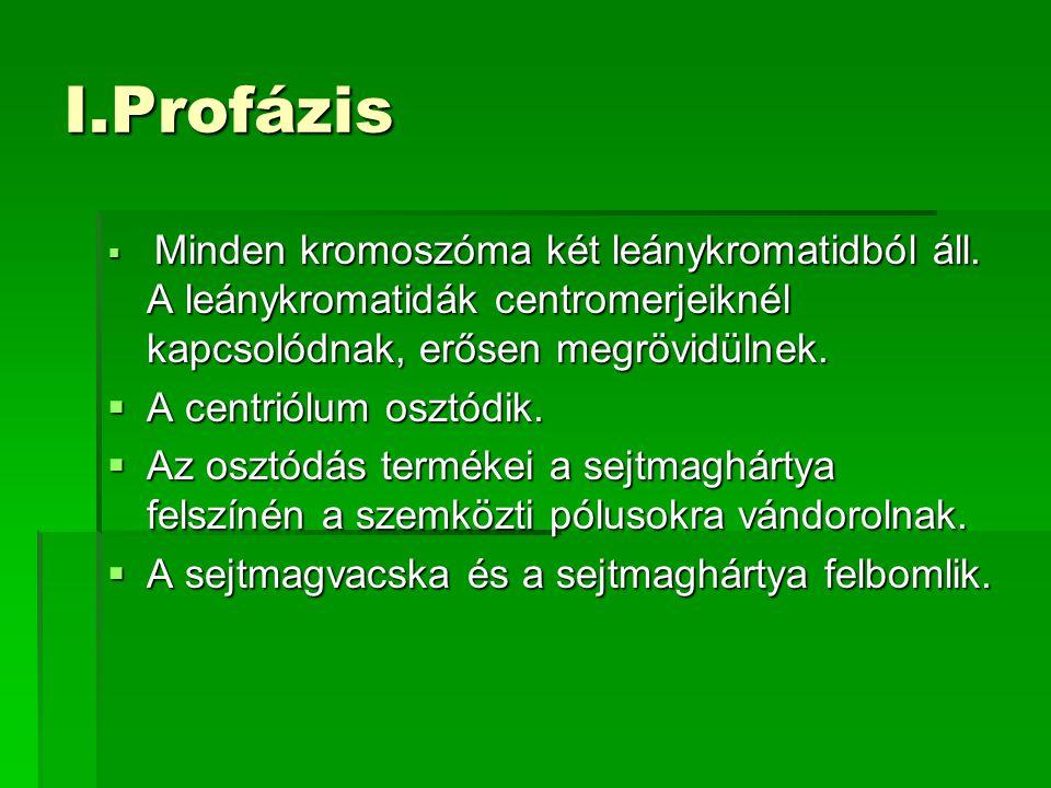I.Profázis  Minden kromoszóma két leánykromatidból áll. A leánykromatidák centromerjeiknél kapcsolódnak, erősen megrövidülnek.  A centriólum osztódi