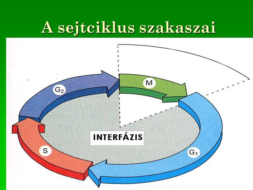 A sejtciklus szakaszai