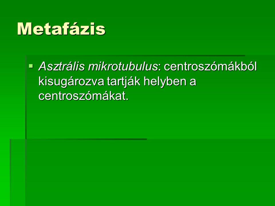 Metafázis  Asztrális mikrotubulus: centroszómákból kisugározva tartják helyben a centroszómákat.