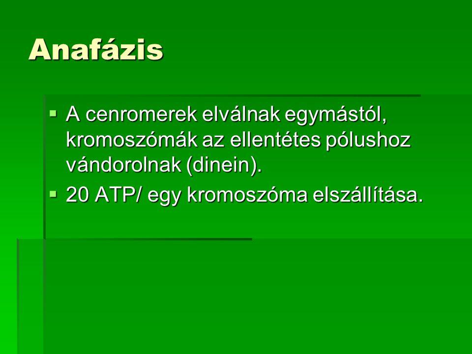 Anafázis  A cenromerek elválnak egymástól, kromoszómák az ellentétes pólushoz vándorolnak (dinein).  20 ATP/ egy kromoszóma elszállítása.