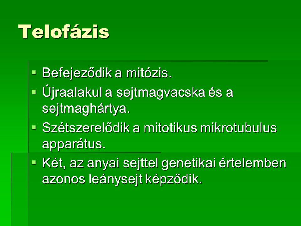 Telofázis  Befejeződik a mitózis.  Újraalakul a sejtmagvacska és a sejtmaghártya.  Szétszerelődik a mitotikus mikrotubulus apparátus.  Két, az any