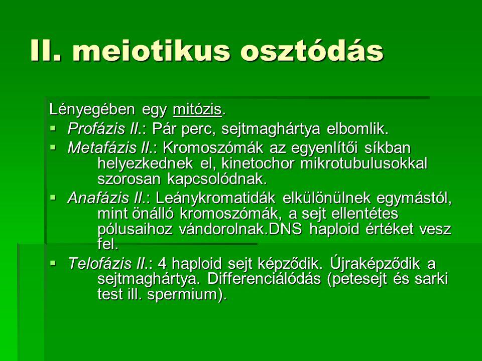 II. meiotikus osztódás Lényegében egy mitózis.  Profázis II.: Pár perc, sejtmaghártya elbomlik.  Metafázis II.: Kromoszómák az egyenlítői síkban hel