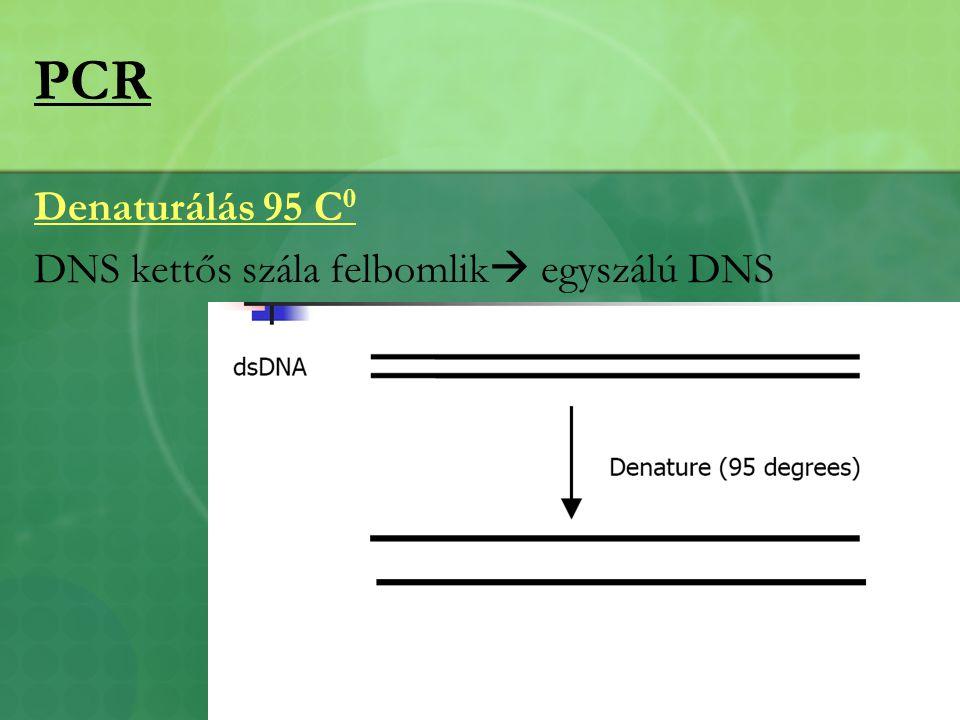 PCR Denaturálás 95 C 0 DNS kettős szála felbomlik  egyszálú DNS