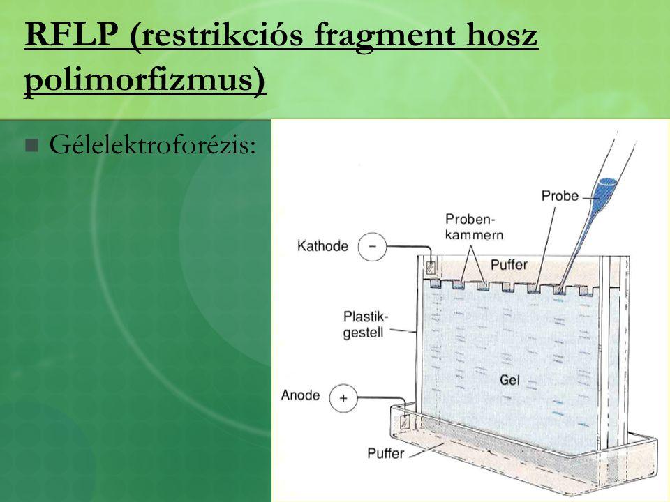 RFLP (restrikciós fragment hosz polimorfizmus) Gélelektroforézis: