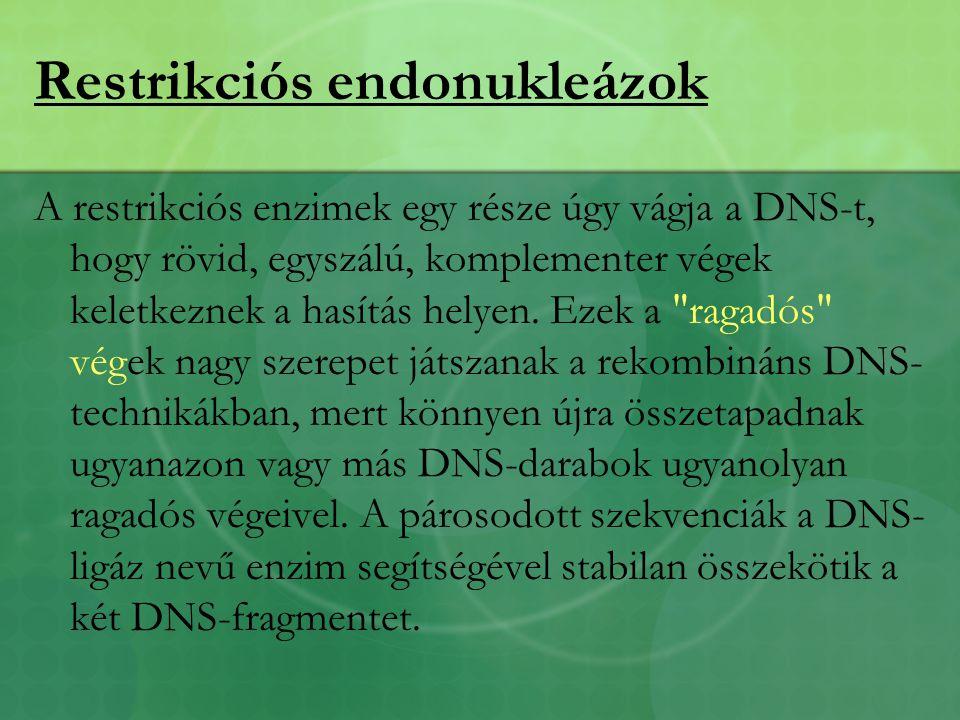 Restrikciós endonukleázok A restrikciós enzimek egy része úgy vágja a DNS-t, hogy rövid, egyszálú, komplementer végek keletkeznek a hasítás helyen.