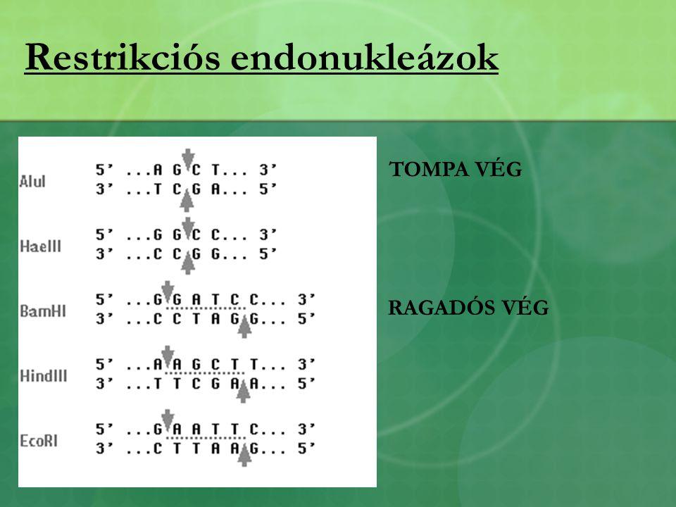Restrikciós endonukleázok TOMPA VÉG RAGADÓS VÉG